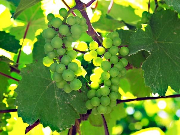 vine-grape2
